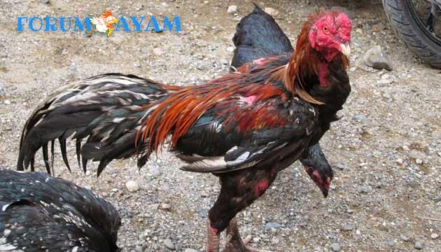 rahasia jamu ayam bangkok - agen sabung ayam