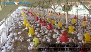 bibit ayam broiler - agen sabung ayam