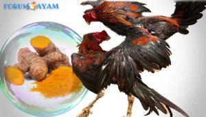 kemin atau parem - agen sabung ayam