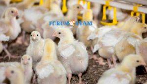 penyakit gumboro - agen sabung ayam