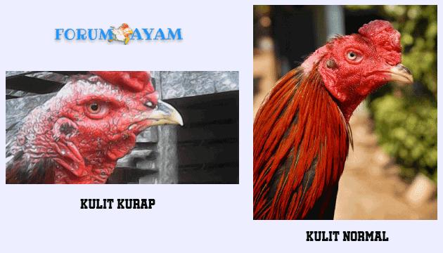 penyakit kurap pada ayam - agen sabung ayam