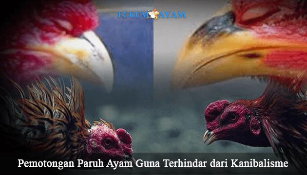 pemotongan paruh ayam - agen sabung ayam