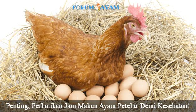 ayam petelur - agen sabung ayam
